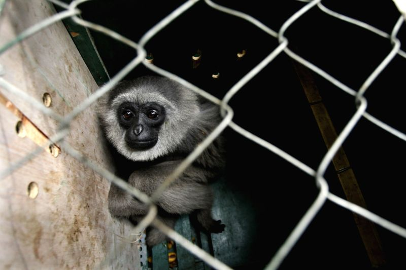 BANDUNG (INDONESIA), Oct. 5, 2017 A silvery gibbon (Hylobates moloch) is seen inside a cage before being released in West Java, Indonesia, Oct. 5, 2017. The number of silvery gibbon ...