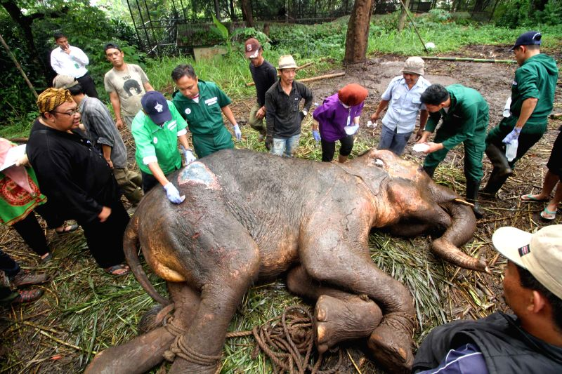BANDUNG, May 11, 2016 - Volunteers prepare to move Yani, a 37-year-old Sumatran elephant (Elephas Maximus Sumatranus), at Bandung Zoo Park, West Java, Indonesia, May 11, 2016. The absence of ...