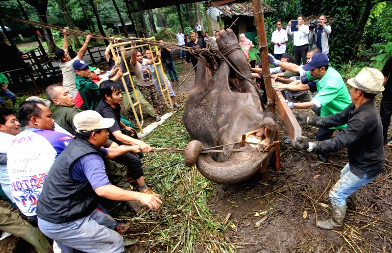 BANDUNG, May 11, 2016 - Volunteers try to move Yani, a 37-year-old Sumatran elephant (Elephas Maximus Sumatranus), at Bandung Zoo Park, West Java, Indonesia, May 11, 2016. The absence of ...