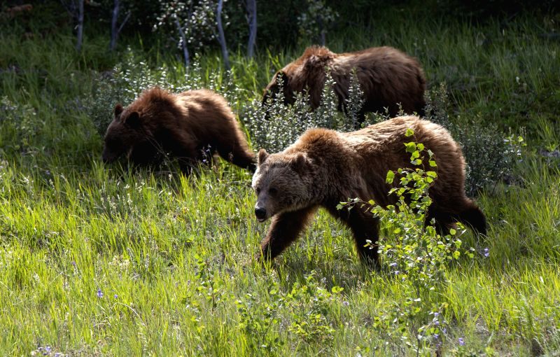 BANFF (CANADA), July 25, 2018 Grizzlies are seen in Banff National Park, Canada Rockies, Canada, July 24, 2018. Located in British Columbia and Alberta, Canadian Rockies are the Canadian ...