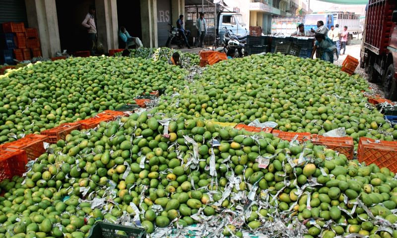 Banganapalli mangoes arrive at Kalmana Market of Nagpur from Andhra Pradesh on April 29, 2017.