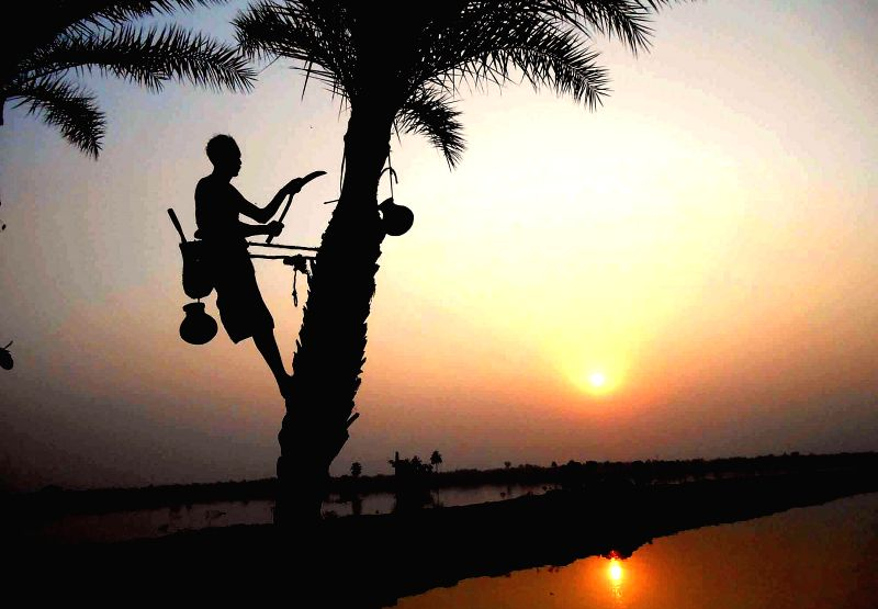 A man extracts `palm sap` from a tree in Basirhat of West Bengal on Dec 10, 2014.