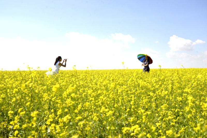 BAYAN NUR, July 21, 2016 - Tourists take photos at a rapeseed field in Urad Middle Banner, Bayannur, north China's Inner Mongolia Autonomous Region, July 20, 2016.