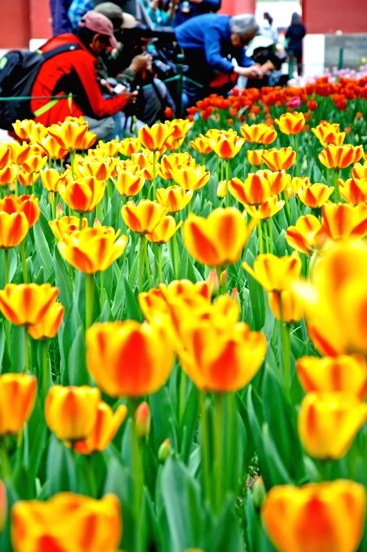 People take pictures of tulips at the Zhongshan Park in Beijing, capital of China, April 16, 2014. A tulip show is open to the public in April and May at the park.