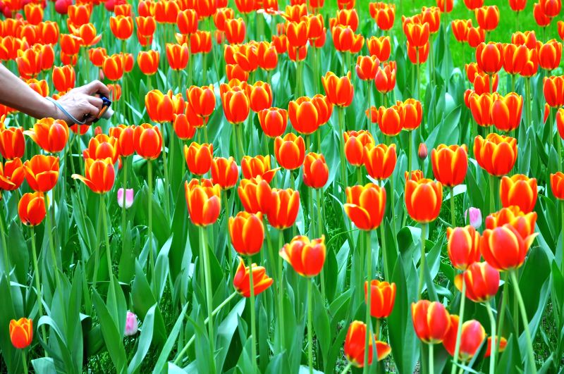 Photo taken on April 16, 2014 shows tulips at the Zhongshan Park in Beijing, capital of China. A tulip show is open to the public in April and May at the park. ...
