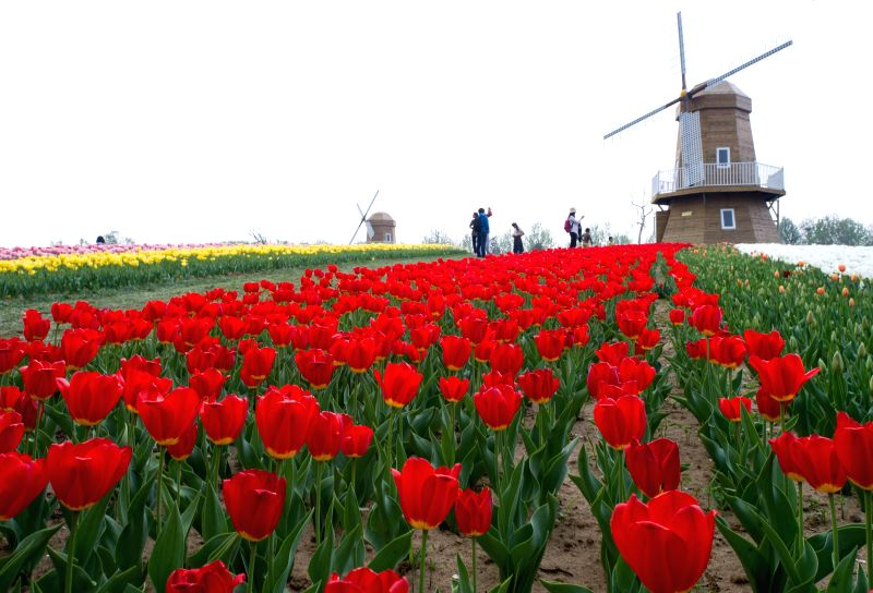 Visitors view blooming tulips at the International Flower Port in Shunyi District of Beijing, capital of China, April 24, 2014. Millions of tulip flowers were in ..