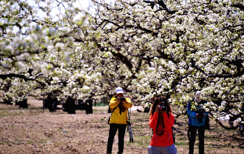 Tourists take photos of pear flowers in Panggezhuang Township of Daxing District in Beijing, capital of China, April 7, 2015. (Xinhua/Li Xin)