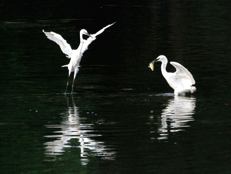 "BEIJING, Aug. 6, 2016 - A couple of egrets ""dance"" in a river in Beijing, capital of China, Aug. 5, 2016. Egrets often ""perform"" amazing dance as they look for food in the river."