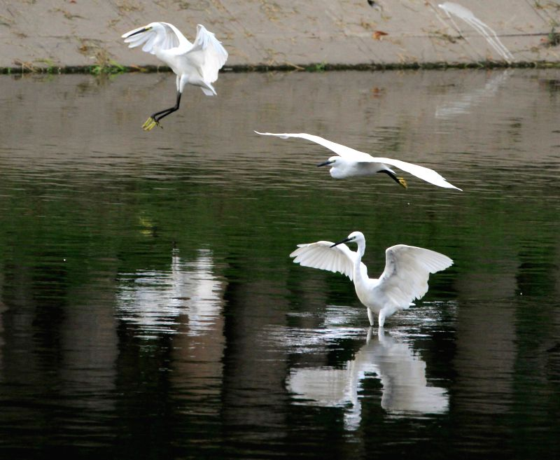 "BEIJING, Aug. 6, 2016 - A flock of egrets ""dance"" in a river in Beijing, capital of China, Aug. 5, 2016. Egrets often ""perform"" amazing dance as they look for food in the river."