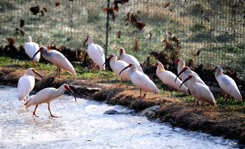 Crested ibises, an endangered bird species once believed to be extinct in China, stay in cage at a base of re-wilding training in Tongchuan City, northwest China's .