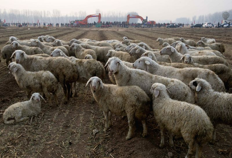 A flock of sheep are seen near the ground breaking ceremony of Beijing's new airport in the Daxing District of Beijing, capital of China, Dec. 26, 2014. The airport