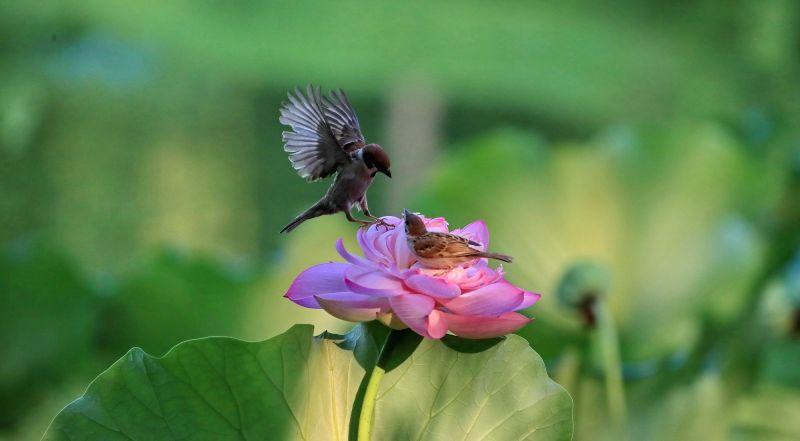 BEIJING, July 26, 2018 - Two birds frolic on a lotus flower in Zizhuyuan Park in Beijing, capital of China, July 25, 2018.