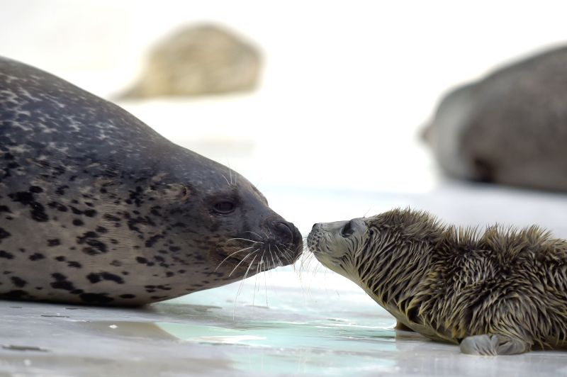 A harbor seal calf kisses its mother at the Sunasia Ocean World in Dalian, northeast China's Liaoning Province, March 5, 2015.