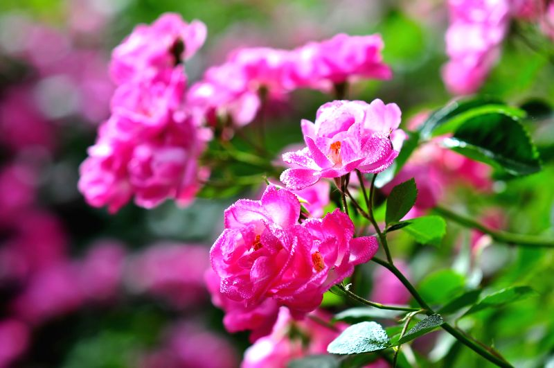 Chinese roses are in blossom during the Chinese rose cultural festival at the Beijing Botanical Garden in Beijing, capital of China, May 15, 2014. (Xinhua/Ma ...