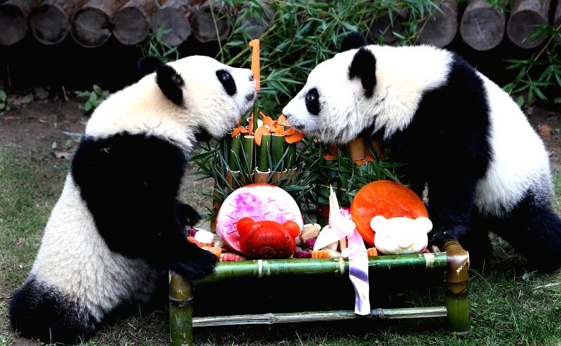 BEIJING , Oct. 4, 2017 - A pair of giant panda cub twins enjoy birthday feast at Shanghai Wild Animal Park in Shanghai, east China, Oct. 4, 2017. The panda twin cubs turned one year old on wednesday.
