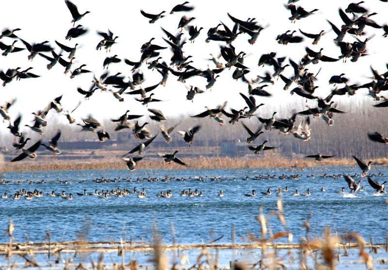 Photo taken on Dec. 12, 2014 shows the wild gooses at Dongwushi reservoir in Cixian County, north China's Hebei Province. Thousands of wild gooses came here to overwinter. (Xinhua/Wang ...