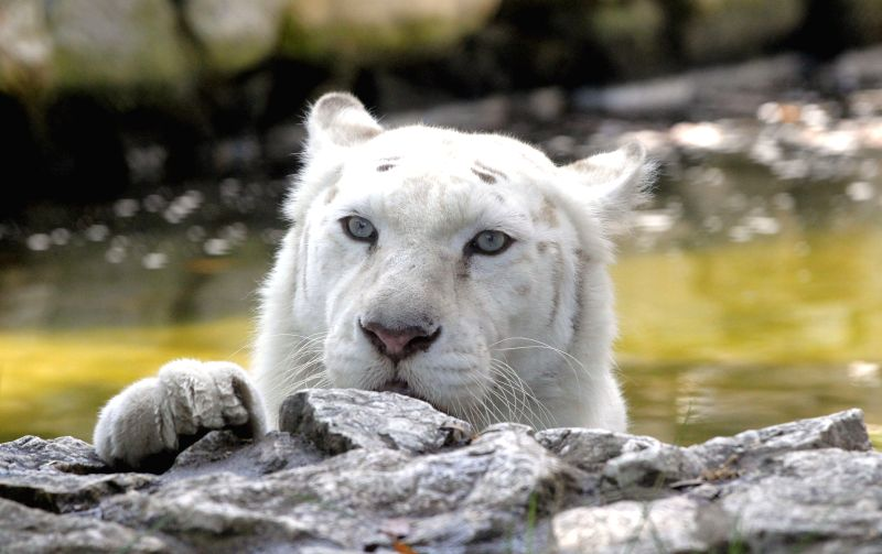 BELGRADE, Aug. 5, 2017 - A white Bengal tiger cools himself down in water pond in Belgrade zoo, Serbia, on Aug. 5, 2017. A warning was issued Friday for extreme weather for most of next week across ...