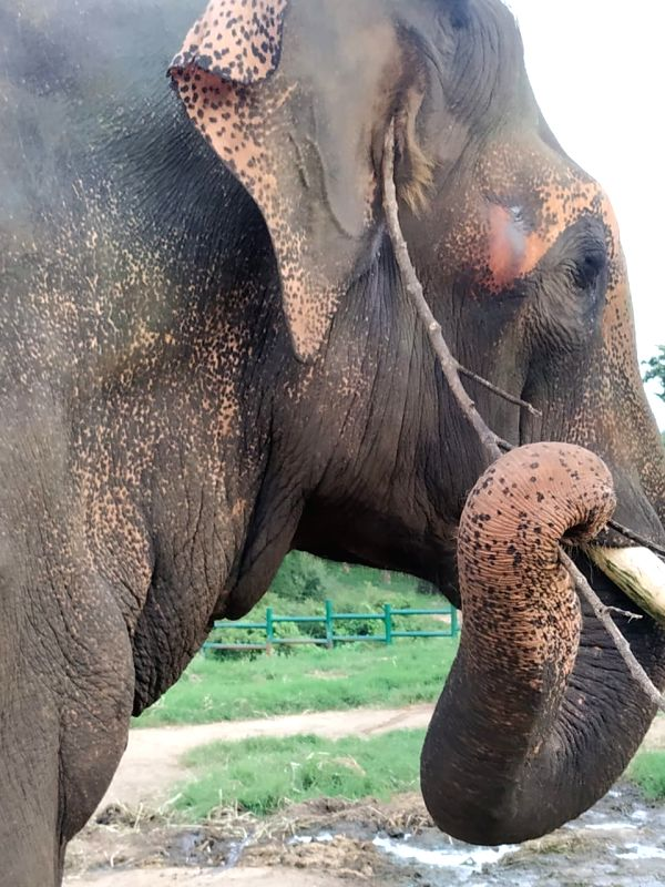 Bengaluru, July 24 (IANS) For the first time at Bengaluru Zoo, two Asian elephants have been observed to scratch their body parts such as ears, mouth and neck areas using a twig tool they organised themselves, an official said on Friday.
