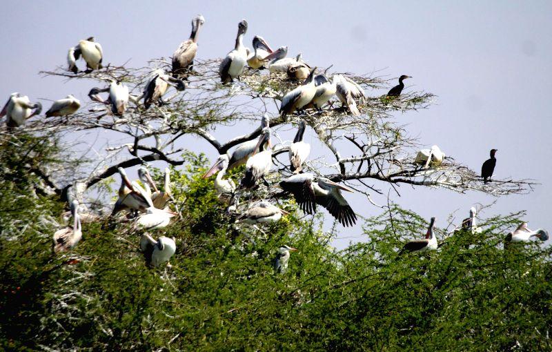 Pelicans perched on a tree near Jakkur Lake of Bengaluru on Feb 11, 2015.