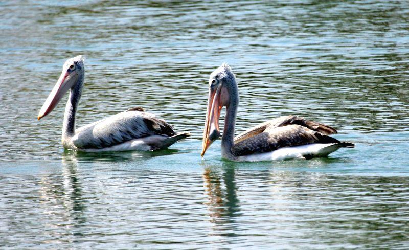 Pelicans swim in the Jakkur Lake of Bengaluru on Feb 11, 2015.