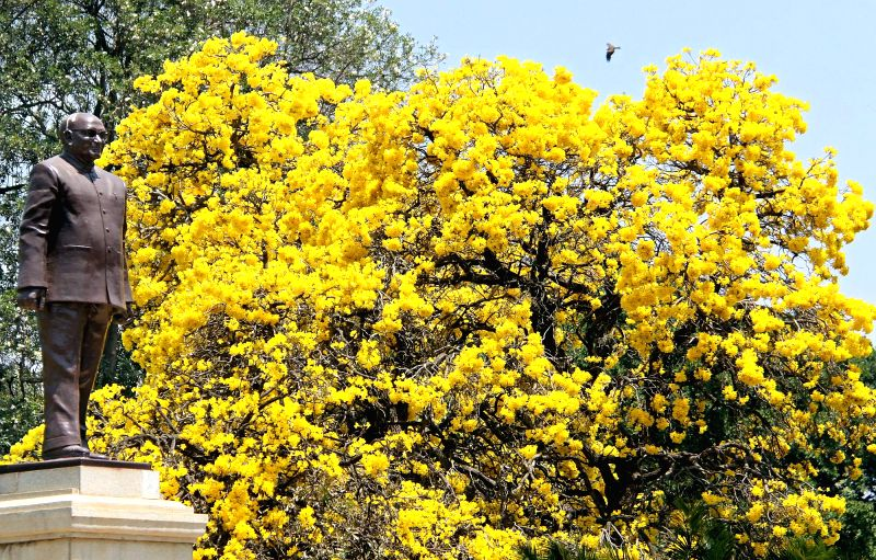 Tabebuia flowers bloom at the Vidhan Soudha in Bengaluru on March 19, 2015.