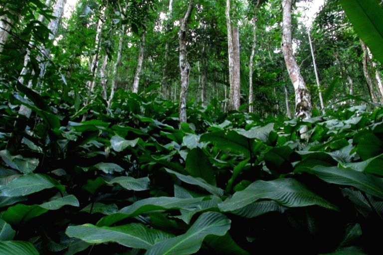 Betel leaf cultivation in an agroforestry matrix. Photo by Biang Syiem.