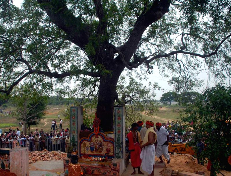 The tree that was identified by the Banajaga team after a week-long search of daru (logs) for Nabakalebara of Lord Jagannath and his siblings in Gadakuntunia village on the outskirts of ...