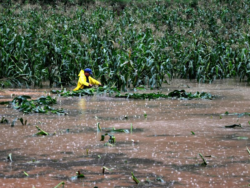 A villager checks flooded corn field in Lexi village of Weining County, southwest China's Guizhou Province, Aug. 12, 2014. The death toll from continuous rains in ...