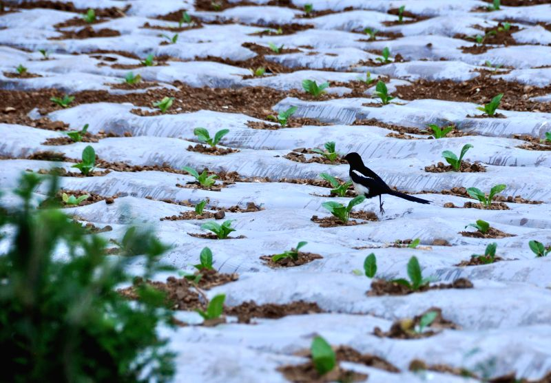 A magpie is seen on the tobacco fields covered with plastic film in Xiushui Township of Weining County, southwest China's Guizhou Province, May 11, 2014. The plastic ..