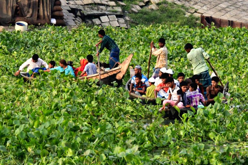 Boatmen struggle to cross the Buriganga River as water hyacinths cover this part of the river near Shoari Ghat, Bangladesh on Aug 19, 2014.