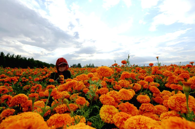 BORTALA, July 28, 2017 - A worker picks up marigold flowers at a farm in Bortala, northwest China's Xinjiang Uygur Autonomous Region, July 27, 2017. About 4,000 mu (266.7 hectares) of marigold were ...