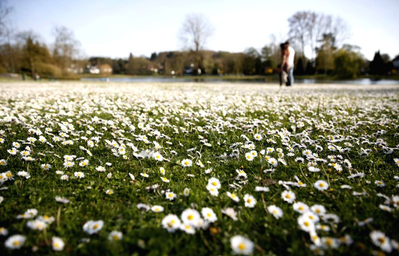 A couple pass by sea of white wildflowers at a park in Brussels, Belgium, April 14, 2015. The daily highest temperature of Brussels reached about 24 celsius ...