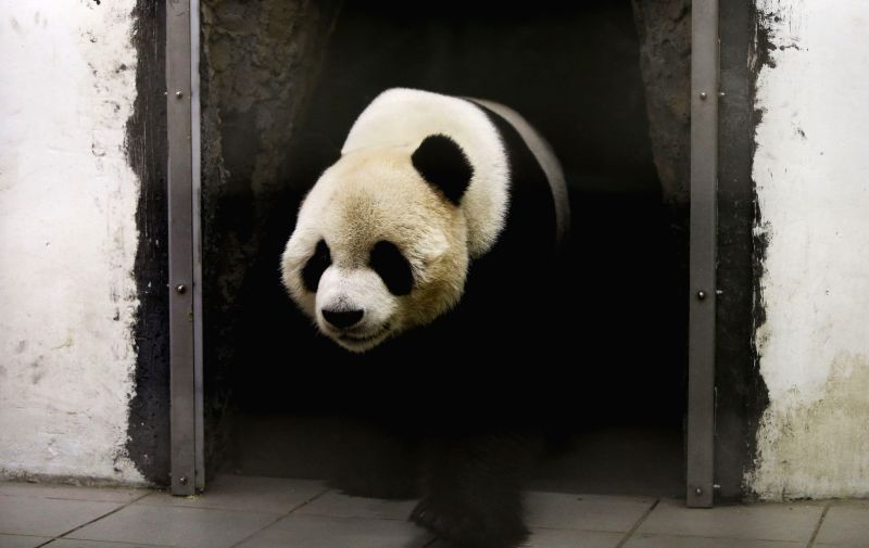 Giant panda Xing Hui eats bamboo at the Pairi Daiza Zoo in Brugelette, Belgium, on April 4, 2015. A pair of giant panda from China, Xing Hui, the male, and Hao ...