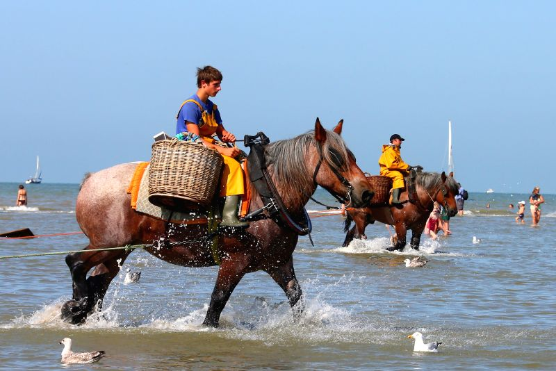 Shrimpers fish in the sea in Oostduinkerke, Belgium, Aug. 7, 2014. The shrimp fishing on horseback in Oostduinkerke has a history about 500 years and attracted ...