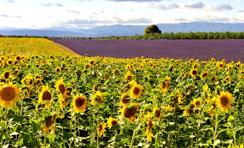 Photo taken on July 10, 2014 shows sunflower and lavender fields at Valensole of Provence, south of France.