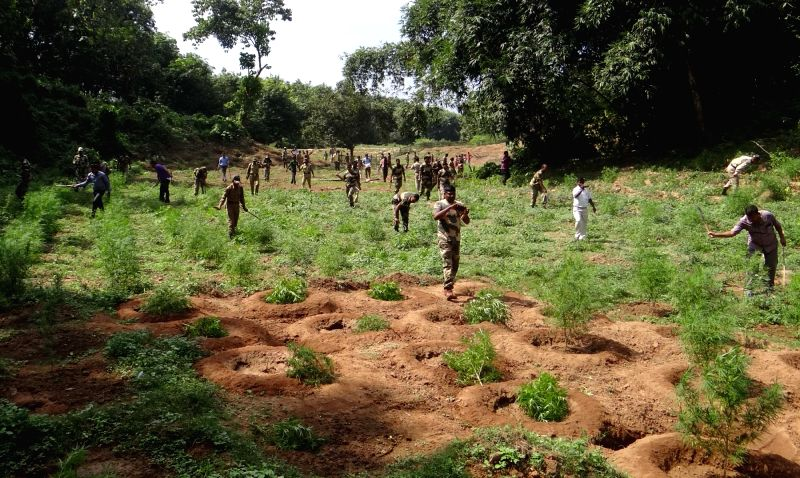 BSF personnel destroy marijuana plants near Indo-Bangladesh border in Bakshanagar of Tripura on Oct 29, 2015.