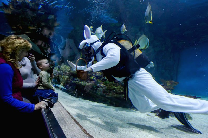 A scuba diver dressed as a bunny searches for Easter eggs hidden in a shark pool in Tropicarium in Budapest, Hungary on April 5, 2015.