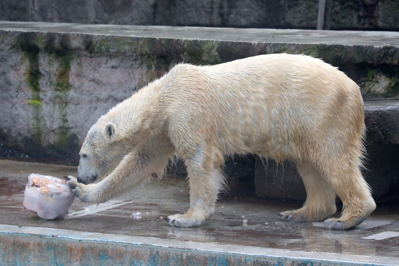 BUDAPEST, Feb. 3, 2018 - A polar bear eats its frozen meal at Budapest Zoo in Budapest, Hungary on Feb. 2, 2018. Zoo Budapest gave meals of fruits and fish frozen in water as a form of carnival ...