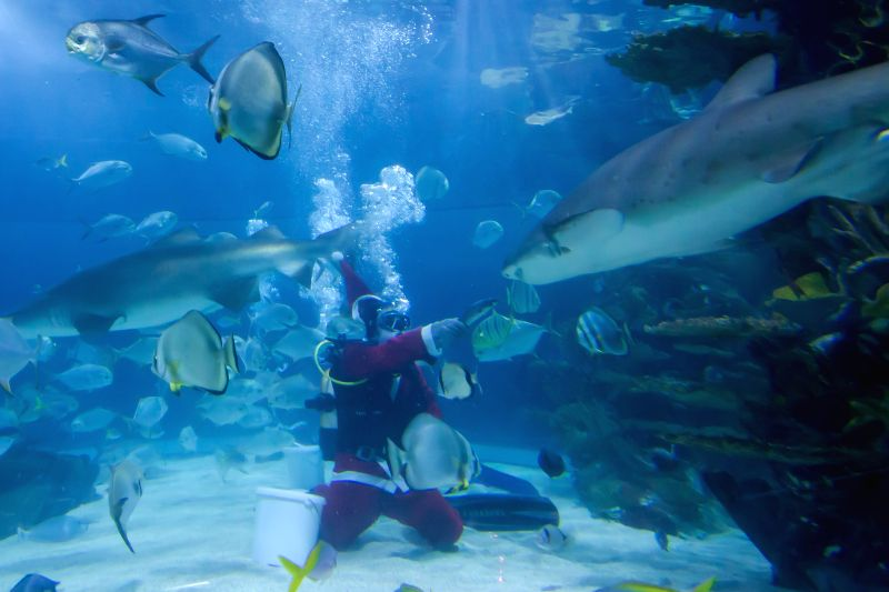Budapest (Hungary): A scuba diver dressed as Santa Claus feeds sharks and other sea fishes as part of Christmas celebration underwater in an aquarium in Budapest, Hungary on Dec. 4, 2014.     ...
