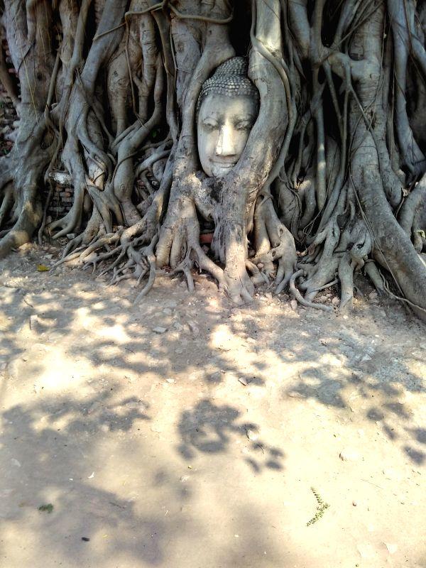 Buddha head in tree roots.