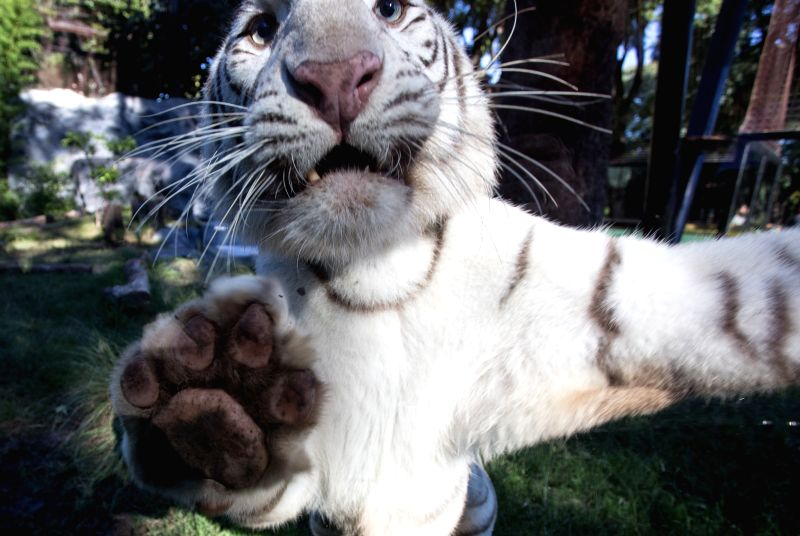 Cleo, the mother of three Bengal tiger cubs, remains in the Zoo of Buenos Aires, Buenos Aires, capital of Argentina, on April 16, 2014. Three Bengal tiger ...