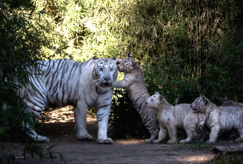 Three Bengal tiger cubs play with their mother Cleo in the Zoo of Buenos Aires, in Buenos Aires, capital of Argentina, on April 16, 2014. Three Bengal tiger ..