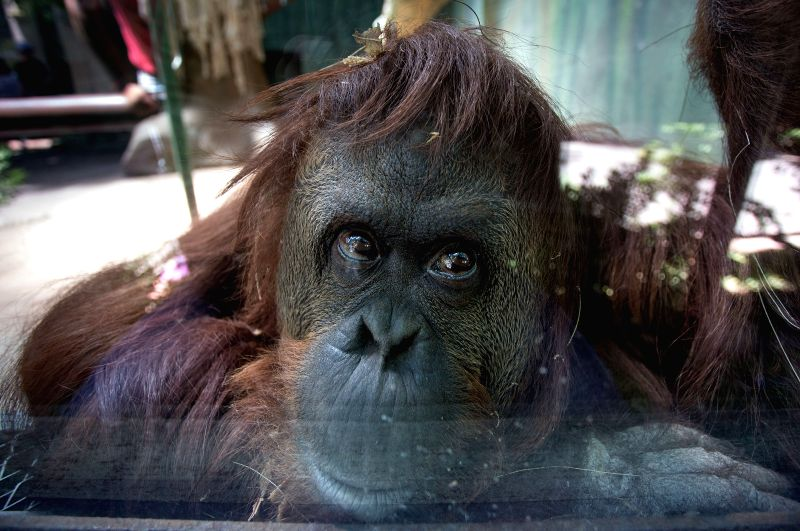 The Sumatran orangutan, called Sandra, reacts in her cage in the Buenos Aires Zoo, in the city of Buenos Aires, Argentina, on Jan. 5, 2015. According to the ...