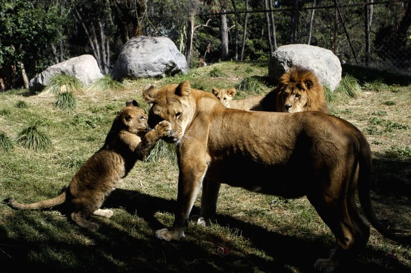 "BUIN, May 5, 2017 - ""Maucho"" (Back), a male lion that has taken an operation to revert a vasectomy, plays with his cubs at Buin Zoo, Chile, on May 4, 2017. According to the local press, the ..."