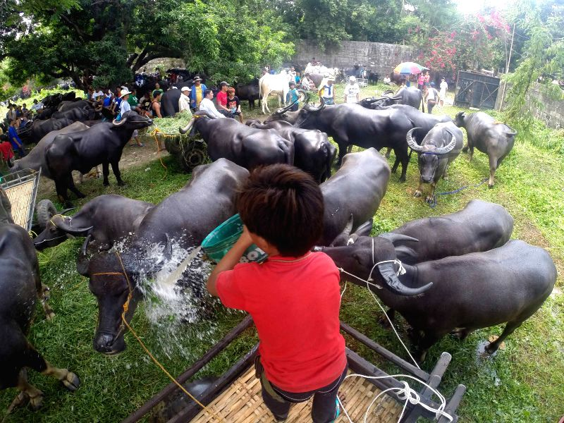A boy splashes his water buffalo, locally known as carabao, with water before the start of the Carabao Festival in Bulacan Province, the Philippines on May .