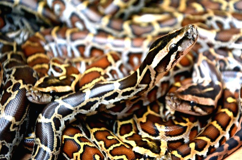 Burmese python at Alipur Zoological Garden in Kolkata on June 8, 2017.