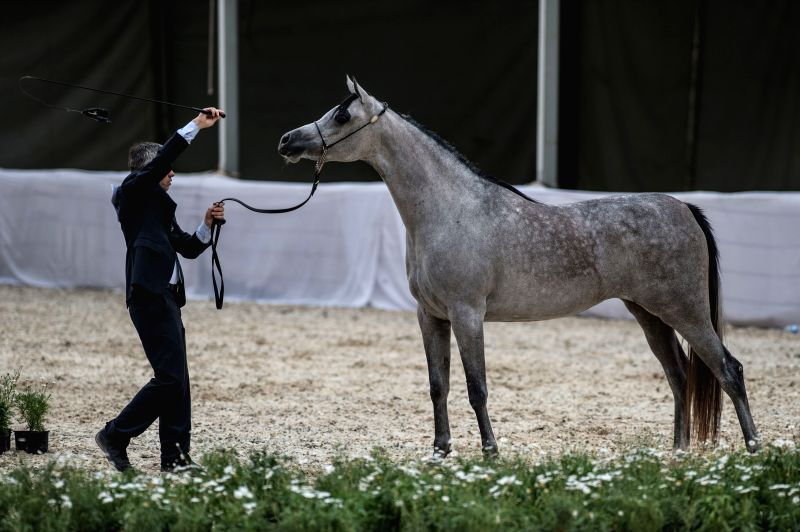 A mentor guides a horse during a competition at the 2015 Egypt Arabian Horse Championship in Giza March 28, 2015.
