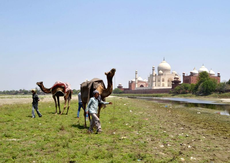 Camels graze in a field near Taj Mahal in Agra.