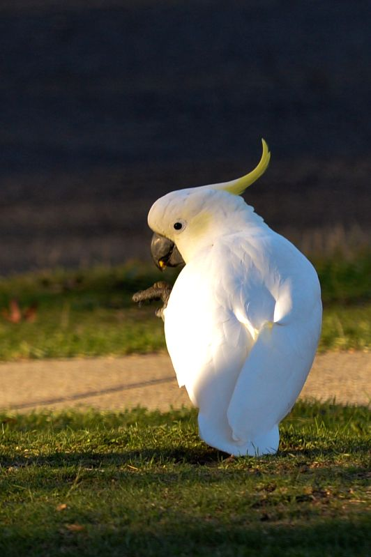 CANBERRA, April 18, 2017 - Photo taken on April 17, 2017 shows a cockatoo in Canberra, Australia. (Xinhua/Xu Haijing)