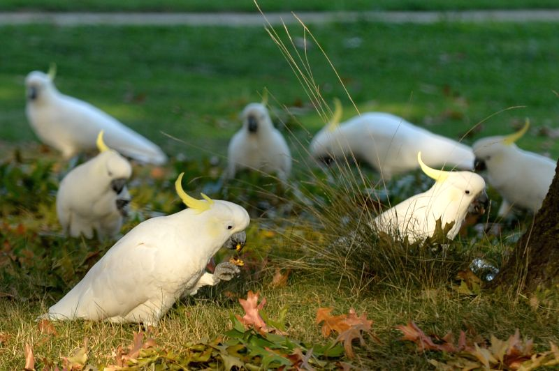 CANBERRA, April 18, 2017 - Photo taken on April 17, 2017 shows a flock of cockatoos finding food in Canberra, Australia.